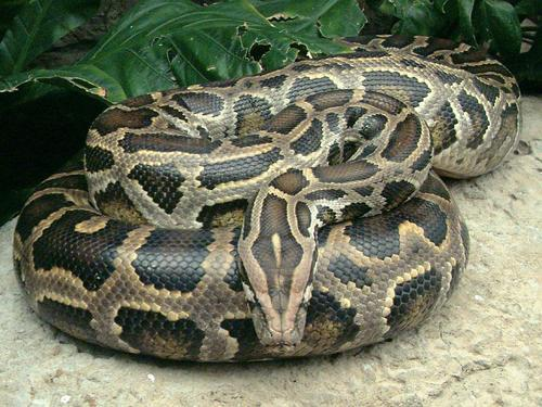 Read About the Pythons in Igboland,Anambra. | Igbo Culture and Tradition